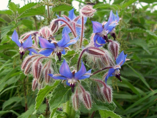 borage_(borago_officinalis)