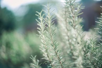 medicinal-plants-rosemary