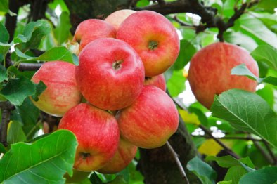 red-apples-on-tree