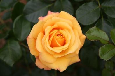 rose_amber_flush