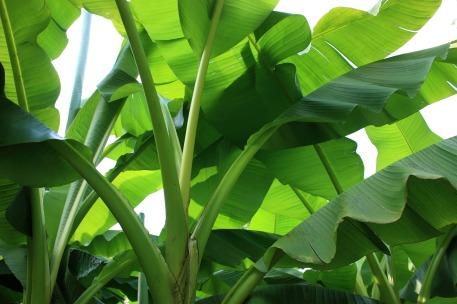 banana-shrub-1912064_1920