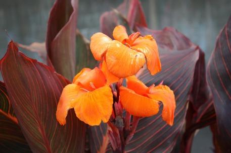 canna-lily-1160605_1920