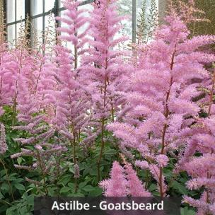 Astilbe - Goatsbeard