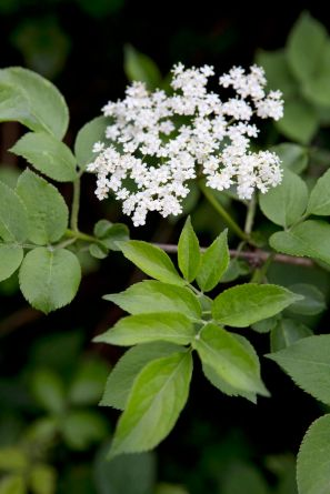 elderflower sarah cuttle