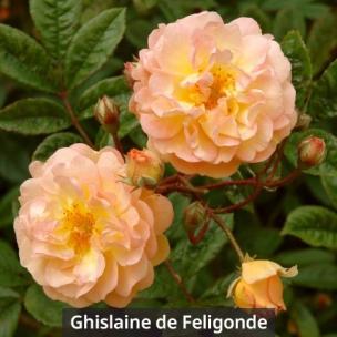ghislaine_de_feligonde_label
