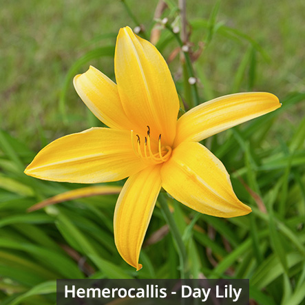 Hemerocallis - Day Lily
