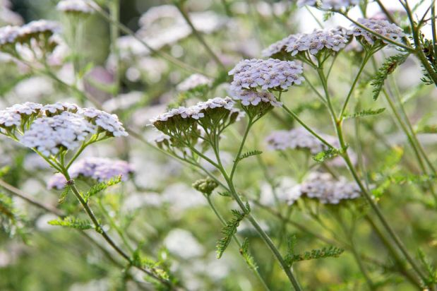 yarrow sarah cuttle