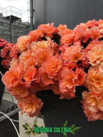 begonia-solenia-captioned