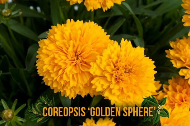 coreopsis-solanna-golden-sphere-captioned
