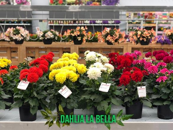 dahlia-la-bella-captioned