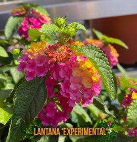 lantana-experimental-captioned