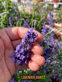 Lavender Giant-captioned