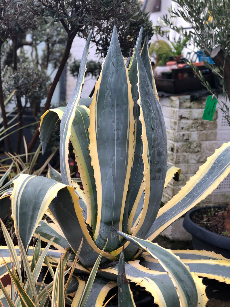 mangave-plant