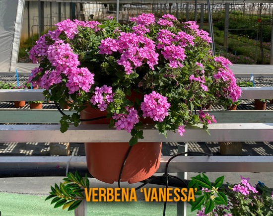 verbena-vanessa-captioned