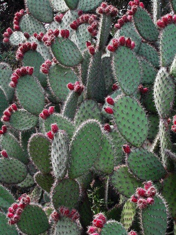 prickly-pear-cactus