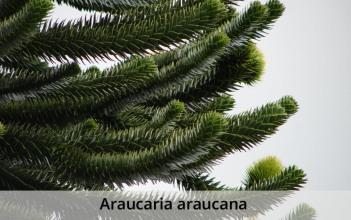 Araucaria_araucana-caption
