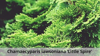 Chamaecyparis-lawsoniana-Little-Spire-caption