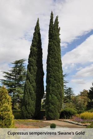 Cupressus_sempervirens_var._horizontalis_Mediterranean_Cypress-caption