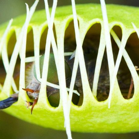 2015_11_19-Dionaea-muscipula-with-march-fly-prey-Droseraceae