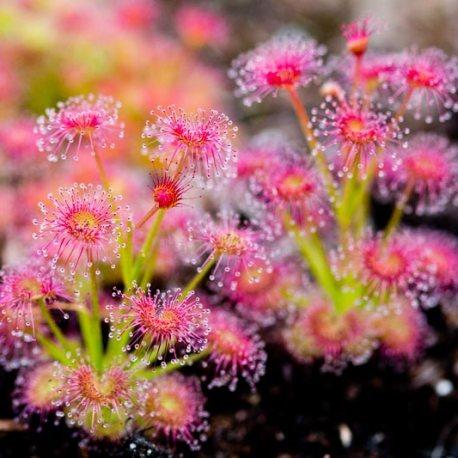 2017_09_15-Drosera-purpurescens-Droseraceae-Walpole-Western-Australia