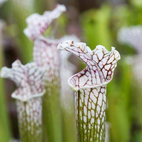 2018_04_27-Sarracenia-leucophylla-Sarraceniaceae-Greg-Bourke