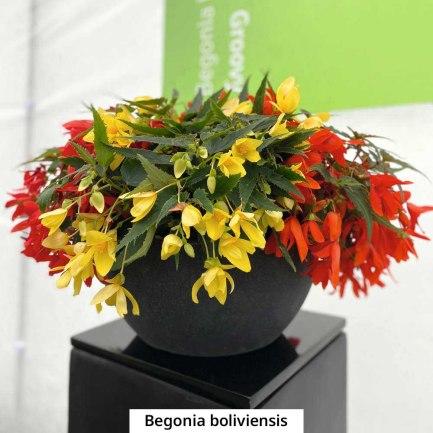 begonia-boliviensis-2
