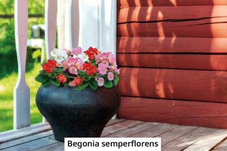 begonia-semperflorens-2