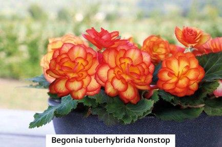begonia-tuberhybrida-nonstop-2