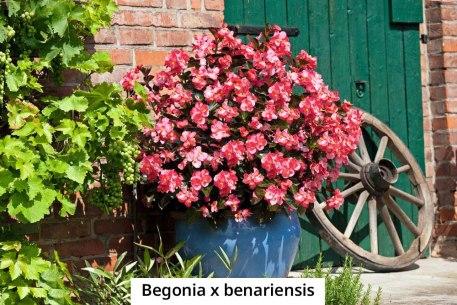 begonia-x-benariensis-2