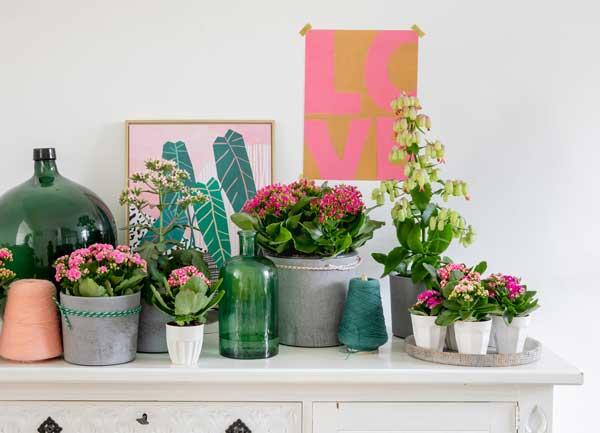 Flaming-Katy-plants,-lifestyle,-Credit-Always-Kalanchoe