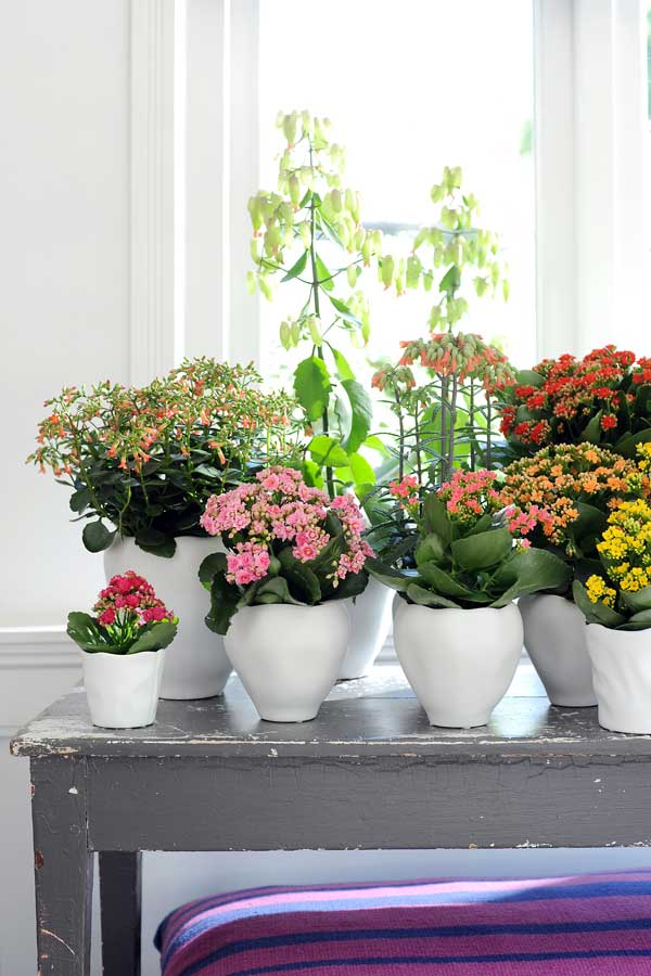 Kalanchoes-plants,-credit-Flower-Council-of-Holland